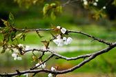 Fiori di primavera fiore — Foto Stock