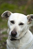 White dog outdoor — Stock Photo