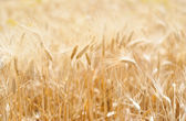 Wheat and ear of wheat — Stock Photo