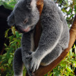 Sleeping koala — Stock Photo #12380314
