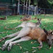 Royalty-Free Stock Photo: Kangaroos lying on grass