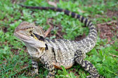 Australian lizard — Stock Photo