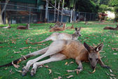 Kangaroos lying on grass — Stock Photo