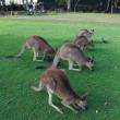 Royalty-Free Stock Photo: Kangaroos in zoo