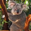 Koala on the tree — Stock Photo