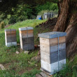 Bee hives under tree — Stock Photo #14702117
