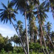 Stock Photo: Boy climbs at coconut palm