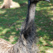 Emu bird at zoo - Stock Photo