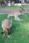 Kangaroo and wallaby lie at grass — Foto Stock