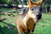 Wallaby at park — Stock Photo