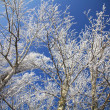 Frozen winter trees with frost on branches — Stock Photo