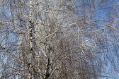 Birch tree op de blauwe hemel — Stockfoto