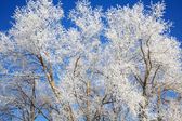Frozen winter trees with frost on it — Stockfoto