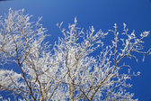 Tree branches decorated with frost — Stock Photo