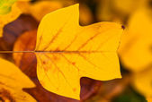 Golden autumn leaа background — Stock Photo