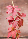 Autumn red leaves on brown background — Stock Photo