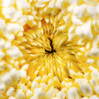 Yellow chrysanthemum autumn flower close view — Stock Photo