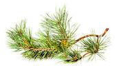Green fir branch with fir cone — Stock Photo