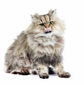 Persian cat golden chinchilla with tongue — Stock Photo
