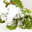 Frozen green leaves under snow in winter — Stock Photo