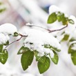 Green branch with leaves under snow in winter — Stock Photo #17160361