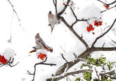 Three waxwings on ashberry tree branch in winter — Stock Photo