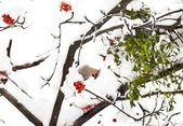 Waxwing on ashberry tree branch in winter — Stock Photo
