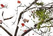 Ampelis europeo en ashberry rama de un árbol en invierno — Foto de Stock