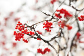 Ashberry in winter under frost close view — Stock Photo