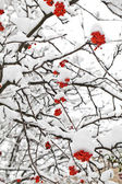 Winter ashberry branches — Stock Photo