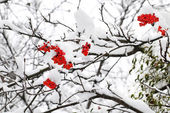 Branch of red ashberry in winter under snow — Stock Photo