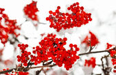 Frozen red ashberry branches under snow in winter — Stock Photo