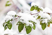 Green branch with leaves under snow in winter — Стоковое фото