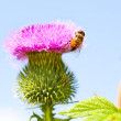 Wild thistle with pink flower and bee on blue background — Stock Photo #28865663