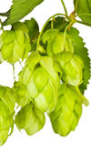 Branch of green hop closeup — Stock Photo
