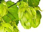 Branch of fresh green hop — Stock Photo