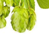 Fresh green hop branch closeup — Stockfoto