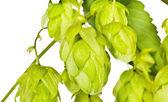 Branch of fresh green hop on white — Stockfoto