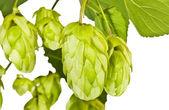 Fresh green hop branch close view — Stock Photo