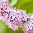 Pink lilac branch on green leaves in spring closeup — Stock Photo #46136783