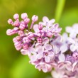 Pink lilac branch on green leaves in spring macro — Stock Photo #46136787