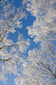 Branches of birches in the frost — Stock Photo