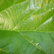 Mulberry green leaf — Stock Photo
