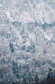 Bosque de coníferas cubierto por nieve. — Foto de Stock