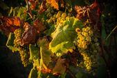 Vineyards in autumn — Stock Photo