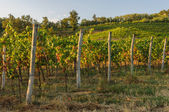 Vineyards and fields — Stock Photo