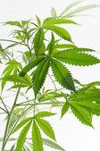Cannabis plant detail — Stock Photo