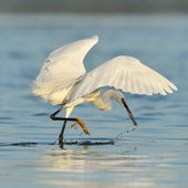 Little egret (egretta garzetta) in natural habitat — Stockfoto
