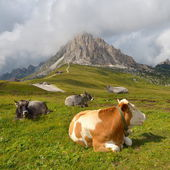 Istirahat inekler — Stok fotoğraf