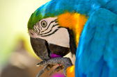Blue-gold macaw — Stock Photo